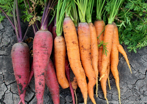 garden-carrots-purple-and-orange-w